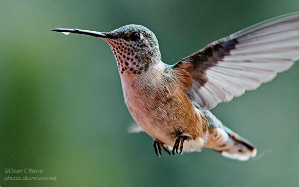 hummingbird broadtail broadtailed