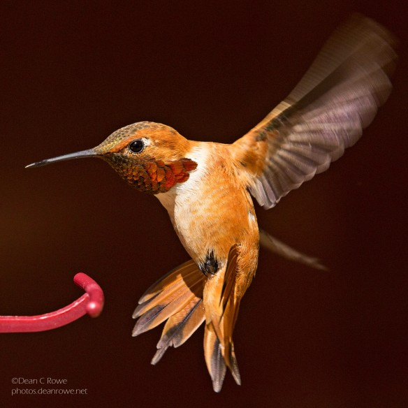 Rufous Hummingbird closeup