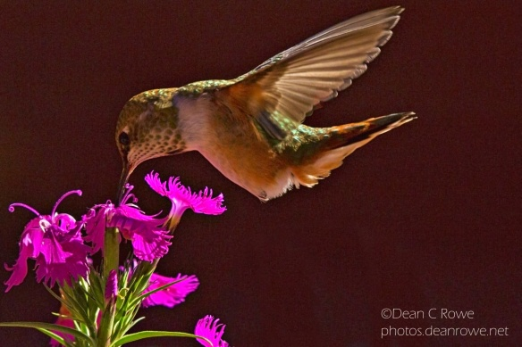 Female Broad Tailed Hummingbird feeding at a Flower