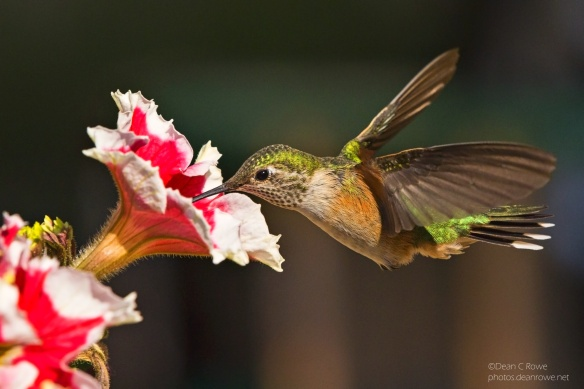 Female Broad Tailed Hummingbird feeding at a Petunia