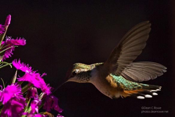 Female Hummingbird Feeding at a Flower