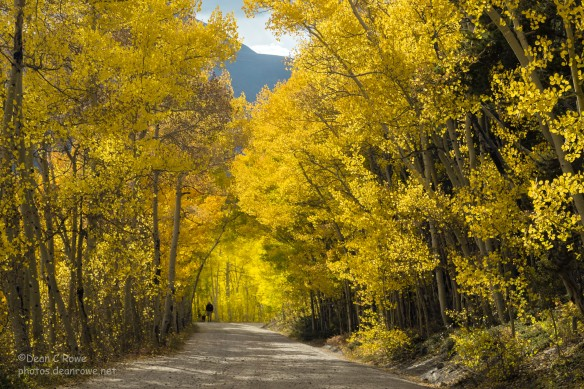 A man walking his best friend among fall aspens near Boreas Pass. Summit County, Colorado