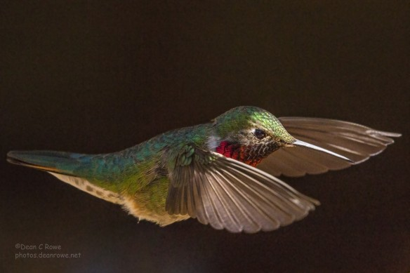 Male Broad-tailed Hummingbird