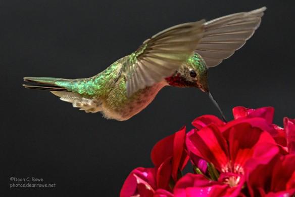 Male Broad-tailed Hummingbird